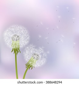 Spring dandelion flowers  on a gray-pink background.