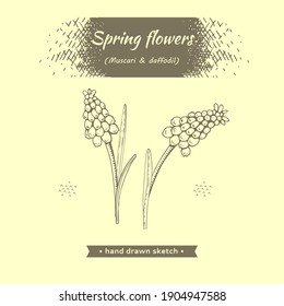 Spring flawers, muscaries . Detailed hand-drawn sketches, vector botanical illustration
