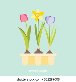 Spring flower bulbs tulip daffodil crocus in tray vector illustration