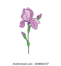 Spring flower iris. Colorful vector illustration on a white background.