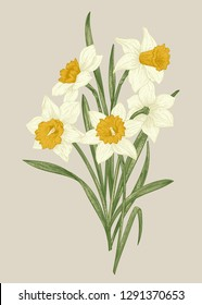 Spring flowers daffodils. Blooming bouquet isolated on a beige background. Botanical illustration.