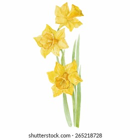 Spring flowers narcissus isolated on white background. Vector, watercolor hand drawn  illustration.