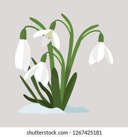 Spring flowers. Snowdrops vector illustration. Snowdrops blooming through the snow. Simple vector flat illustration on white isolated background.