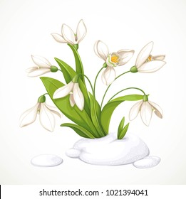 Spring white flowers of snowdrops on green stems are punched out of the snow isolated on white background