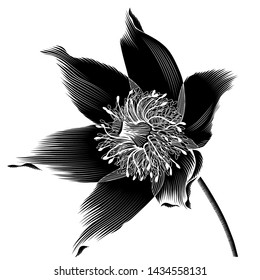 Spring-flowering pasque Pulsatilla flowers.Hand drawn sketch flowers, floral pattern Vector illustration.A picture is showing a flower of Anemone Pulsatilla also known as Pasque Flower.