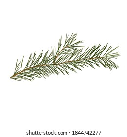 spruce branch vector stock illustration. Pine coniferous tree, evergreen close-up. Needles on a fir branch. Isolated on a white background.