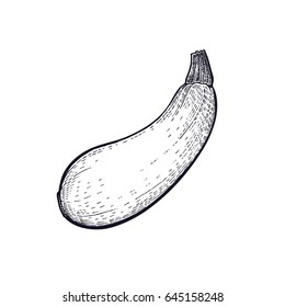 Squash. Hand drawing of vegetable. Vector art illustration. Isolated image of black ink on white background. Vintage engraving. Kitchen design for decoration recipes, menus, signage shops and markets.