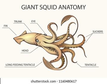 squid anatomy colorful illustration  squid body parts drawn in retro style   vector illustration