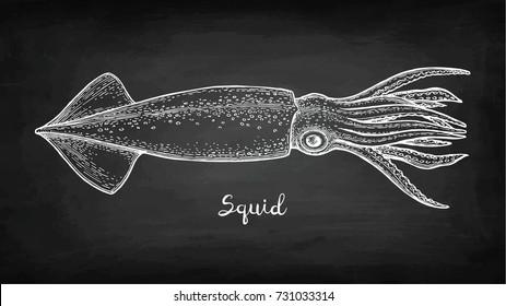 Squid. Chalk sketch on blackboard background. Hand drawn vector illustration. Retro style.