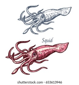 Squid seafood isolated sketch. Sea animal, european squid with pink tentacles and mantle. Seafood, fish market label, food packaging or underwater sea animal themes design