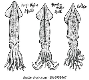 Squid vector hand drawn illustrations. Seafood drawings. Most common species of squids: loligo, Argentine shortfin squid and Pacific flying or Japanese.