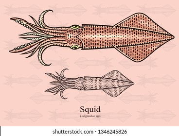 Squid. Vector illustration with refined details and optimized stroke that allows the image to be used in small sizes (in packaging design, decoration, educational graphics, etc.)