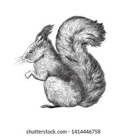 Squirrel - black and white engraving illustration
