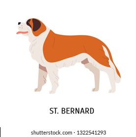 St Bernard. Cute lovely large mountain rescue dog isolated on white background. Adorable funny purebred domestic animal or pet. Breed standard. Colorful vector illustration in flat cartoon style.
