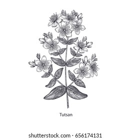 St. John's wort flower. Medical herbs and plants Isolated on white background series. Vector illustration. Art sketch. Hand drawing object of nature. Vintage engraving style. Black and white.