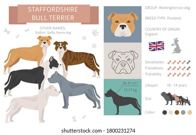Staffordshire bull terrier dog isolated on white. Characteristic, color varieties, temperament info. Dogs infographic collection. Vector illustration