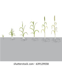 stage of grain growth, illustration, vector, wheat
