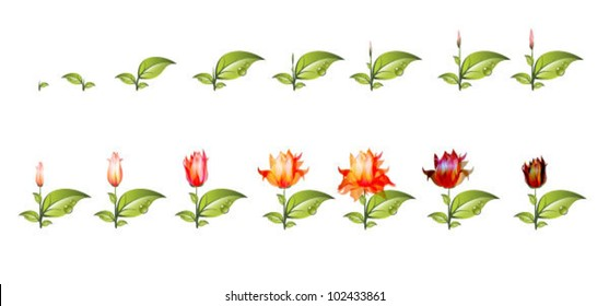 stage of growth of flower isolated on white background. Vector Illustration.