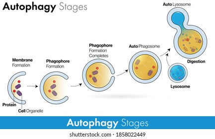 Stages of Autophagy with labelling vector in colorful concept