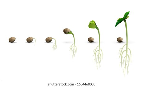 Stages of cannabis seed germination from seed to sprout, realistic illustration isolated on white background