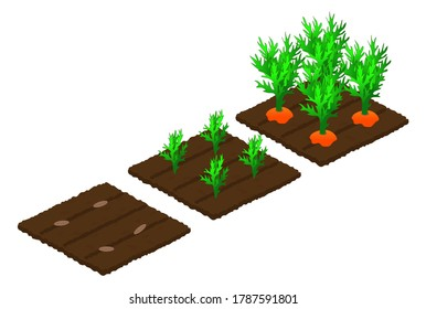 Stages of carrot growth from seed in the garden to maturation and harvest. Isometry. Isolated objects on a white background. Vector illustration.