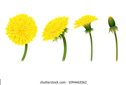 Stages closing flower dandelion, isolated. Gradual folding of petals of plant. Vector illustration of living natural phenomenon