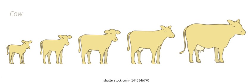 Stages of cow growth set. Milk farm. Breeding cow. Beefs production. Cattle raising. Calf grow up animation progression. Flat vector.