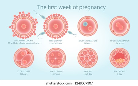 Stages of development of fertile cells. Stages of fetal development. Diagram of folliculogenesis. Educational Medical Information on Cell Division. Vector illustration.
