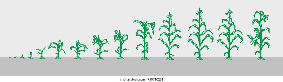Stages of growth of corn.  Progression scale.  Image corn in different stages of development.  A small sprout.  Mature fruit.  Are lined up in a row.  Vector.  Can be used in design, training.