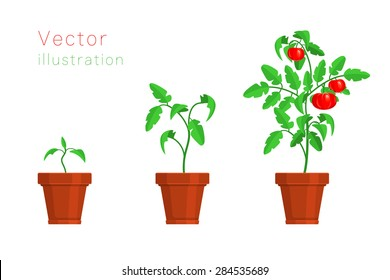 Stages of growth of tomato. Vector illustration