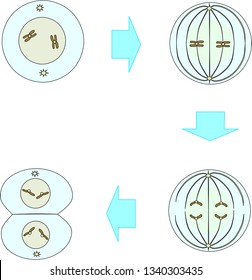 Stages of mitosis