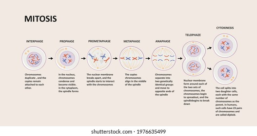 Stages of mitosis. Cell division process, biological phases scheme with interphase, prophase, metaphase, anaphase, telophase and cytocinesis. Vector illustration