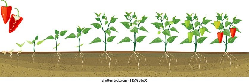 Stages of pepper growth from seed and sprout to harvest. Plants showing root system below ground level on vegetable patch