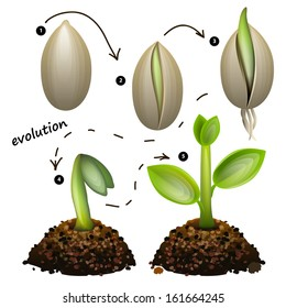 Stages of plant growth. Isolated on white background
