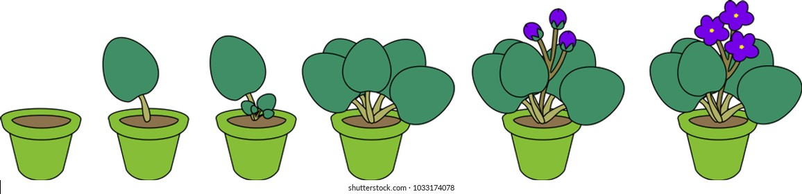 Stages of vegetative reproduction of African violets (Saintpaulia). Sequence of stages of plant growth from leaf section to mature plant with flowers