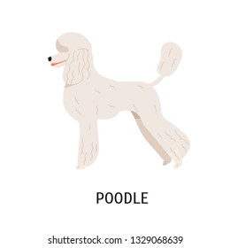 Standard Poodle. Cute dog of hunting breed or gundog isolated on white background. Adorable purebred domestic animal or pet with curvy coat. Side view. Vector illustration in flat cartoon style.