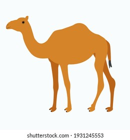 Standing Wild Camel desert Animal Vector. cartoon sideview vector illustration graphic design. Hand drawn vector image of Camel on white background.