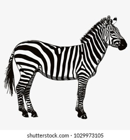 Standing zebra vector drawing black and white isolated on a white background