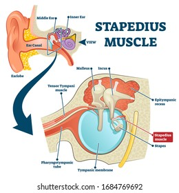 Stapedius muscle vector illustration. Labeled anatomical ear structure scheme. Educational graphic with middle and inner ear closeup. Smallest skeletal muscle in human body. Medical stapes infographic