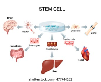 stem cell application. Using stem cells to treat disease