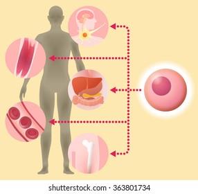 stem cell and regenerative medicine, vector illustration