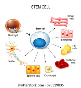 Cell differentiation images stock photos vectors shutterstock stem cells these inner cell mass from a blastocyst these stem cells can become ccuart