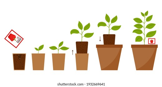 Step-by-step illustration from planting seeds to an adult plant in a flower pot. The scheme of changing plant from sprout to full growth. Growing pepper at home. Flat cartoon style, isolated on white