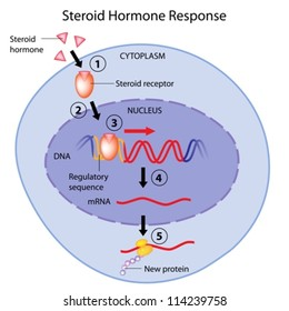Steroid hormones action