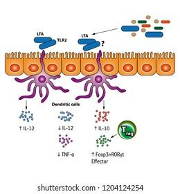 Stimulation of the Regulatory T cells vector medical illustration