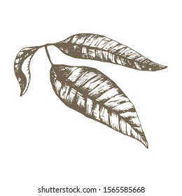 Stock vector hand drawn botanical illustration with a Thai mango leaves. 3 engraved mango leaves. Exotic tropical vegetarian plants. Use for market, cafe, smoothie restaurant menu, textile bag print