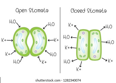 stoma open and stoma closed