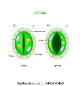Stoma (open and closed). Structure of stomatal complex. Vector diagram for educational, biological and science use