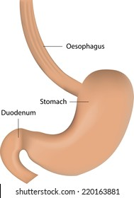 Stomach and Esophagus Labeled Diagram