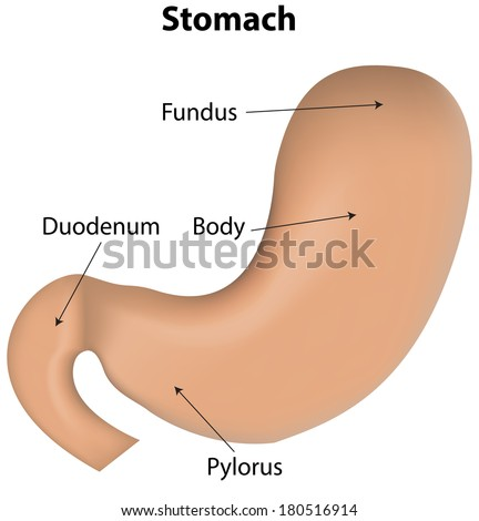 Stomach Labeled Diagram Stock Vector Royalty Free 180516914